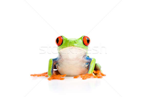 frog isolated on white Stock photo © alptraum