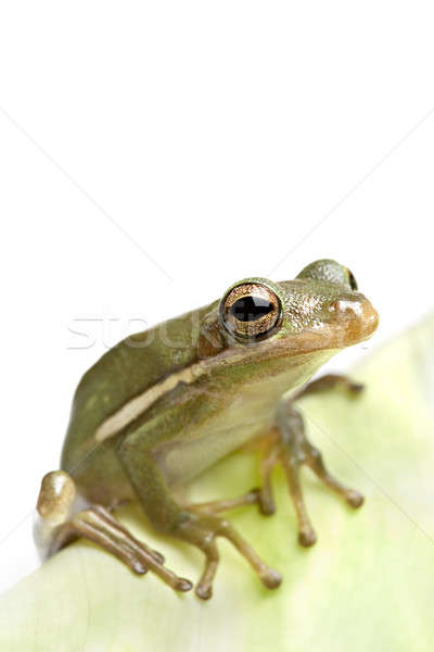 frog closeup on leaf Stock photo © alptraum