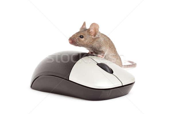 Myszą odizolowany biały żyć szary mysz komputerowa Zdjęcia stock © alptraum