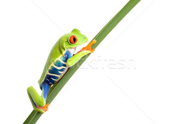 frog on leaf isolated white Stock photo © alptraum