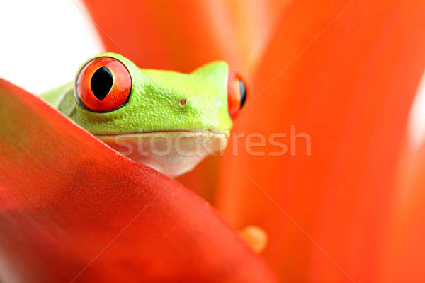 red-eyed tree frog on plant Stock photo © alptraum