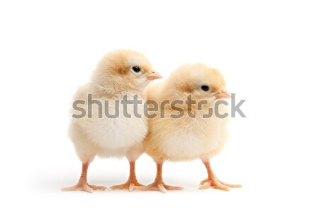 two young chicks isolated on white Stock photo © alptraum