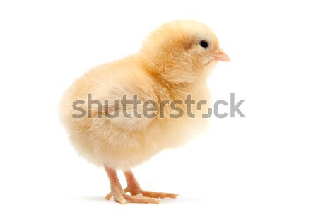 baby chick isolated on white Stock photo © alptraum