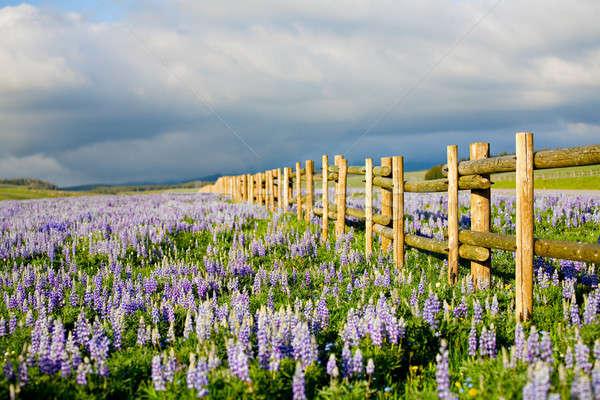 Flores silvestres Wyoming montanas cielo flor primavera Foto stock © alptraum