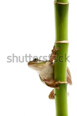 Stock fotó: Béka · bambusz · izolált · fehér · fiatal · zöld · fa