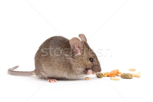 cute mouse eating isolated on white Stock photo © alptraum