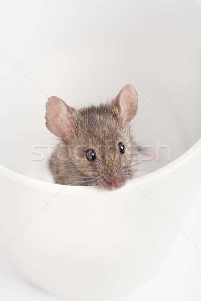 mouse in a cup Stock photo © alptraum