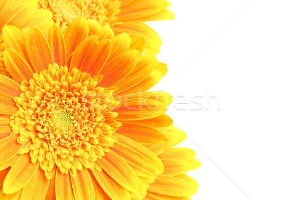 Flores aislado blanco amarillo naranja margaritas Foto stock © alptraum