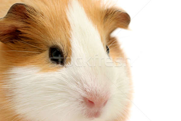 guinea pig closeup over white Stock photo © alptraum