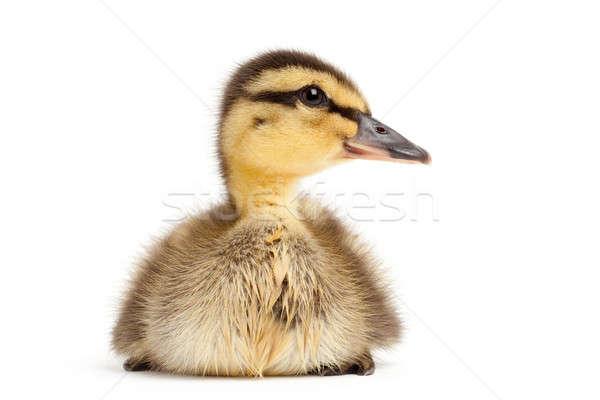 Сток-фото: утки · изолированный · белый · утенок · природы · птица