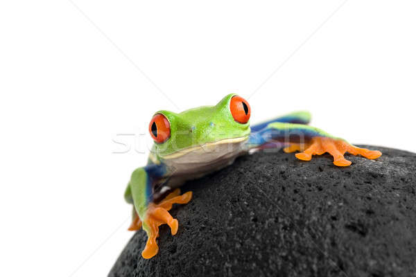 frog on a rock isolated white Stock photo © alptraum