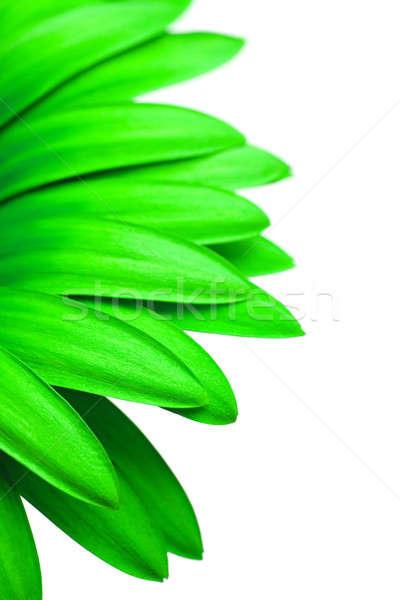 Vert Daisy isolé blanche pétales macro Photo stock © alptraum