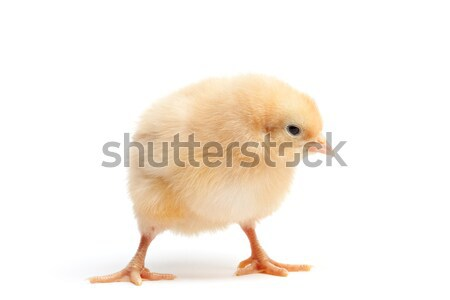 funky chicken isolated on white Stock photo © alptraum