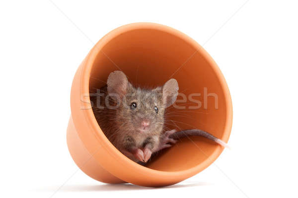 mouse in pot isolated Stock photo © alptraum