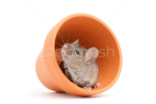 mouse and pot isolated on white Stock photo © alptraum