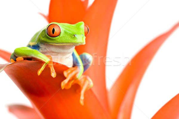 frog on his throne Stock photo © alptraum