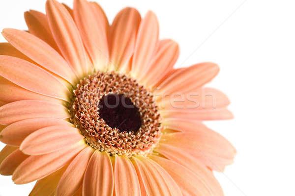 Daisy isolato macro bianco poco profondo fiore Foto d'archivio © alptraum