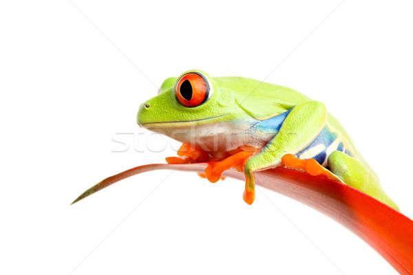red-eyed tree frog on plant isolated Stock photo © alptraum