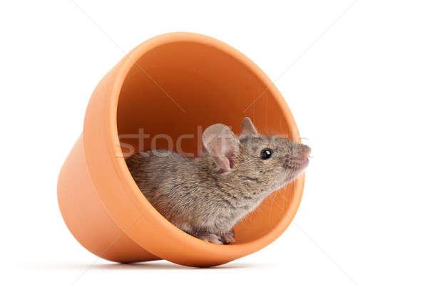 Myszą doniczka odizolowany biały szary Zdjęcia stock © alptraum