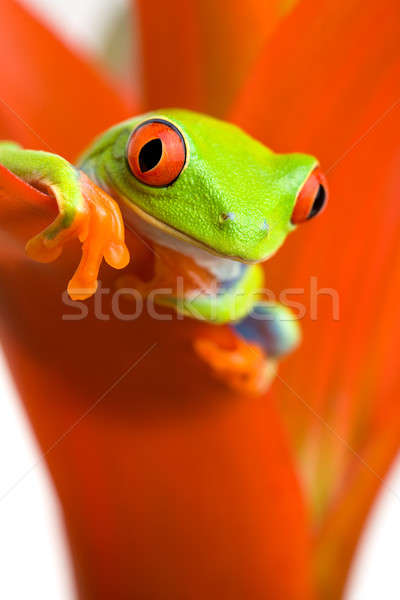 frog chilling on plant Stock photo © alptraum