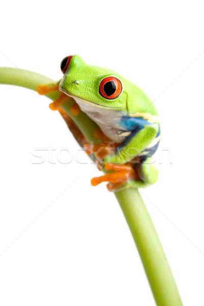 red-eyed tree frog Stock photo © alptraum