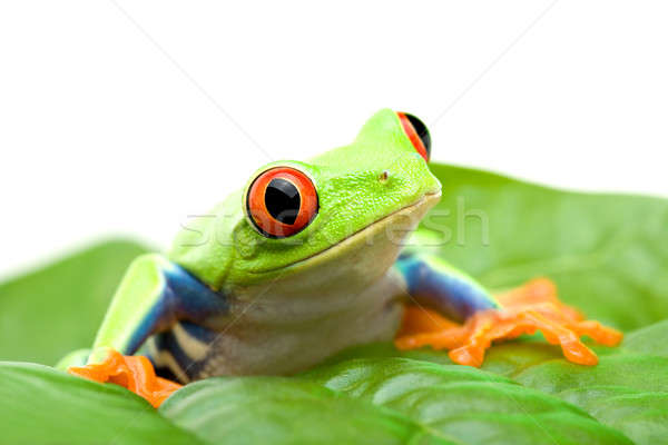 frog on a leaf Stock photo © alptraum