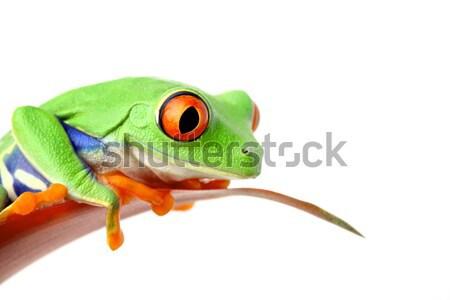 frog on stem isolated Stock photo © alptraum