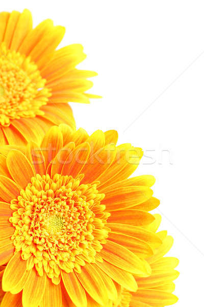 flowers corner isolated on white Stock photo © alptraum