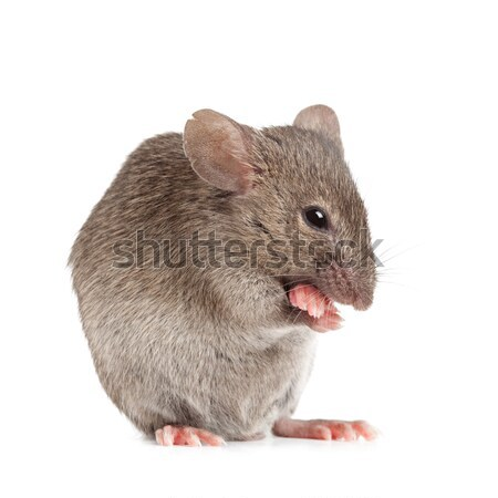 evil mouse isolated on white Stock photo © alptraum