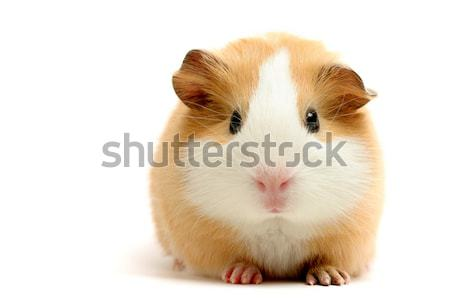 guinea pig over white Stock photo © alptraum