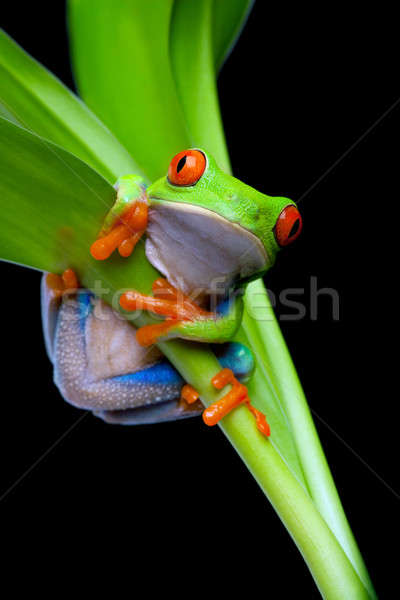frog in a plant isolated black Stock photo © alptraum