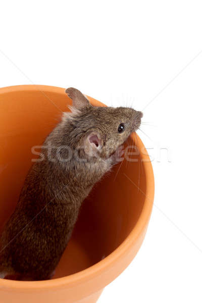 mouse in pot isolated on white Stock photo © alptraum