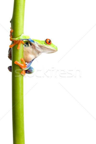 frog on plant stem isolated Stock photo © alptraum