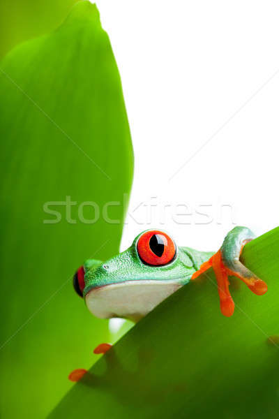 frog on a leaf isolated white Stock photo © alptraum
