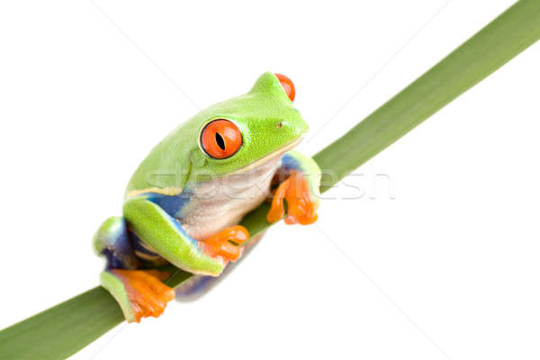 frog on a leaf isolated Stock photo © alptraum