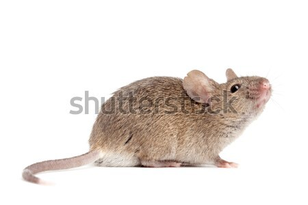 mouse close up isolated on white Stock photo © alptraum