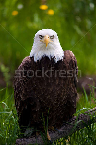 bald eagle Stock photo © alptraum