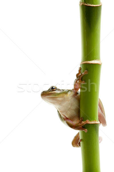 frog on bamboo Stock photo © alptraum