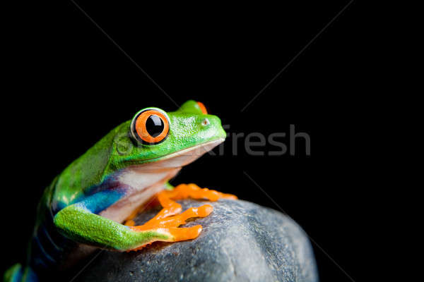 red-eyed tree frog on a rock isolated Stock photo © alptraum