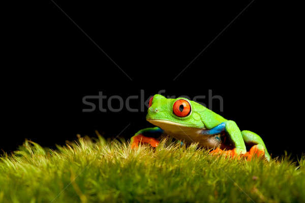 frog on moss isolated black Stock photo © alptraum