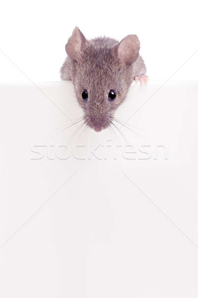 Mouse looking over edge isolated Stock photo © alptraum