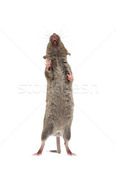 mouse from below isolated Stock photo © alptraum
