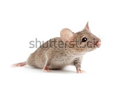 Mouse isolado branco natureza animal Foto stock © alptraum