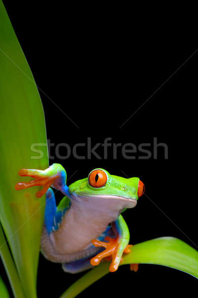 frog on plant leaves isolated black Stock photo © alptraum