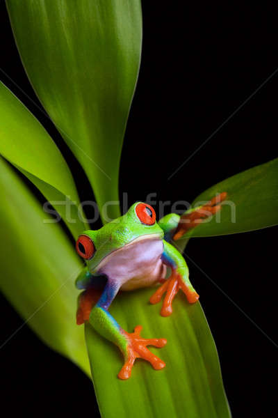frog on a plant isolated black Stock photo © alptraum