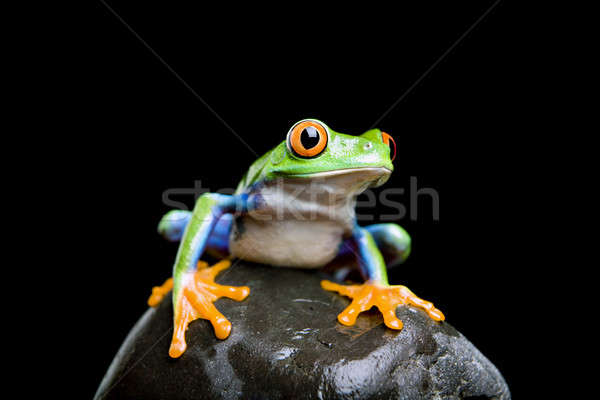 frog on a rock isolated black Stock photo © alptraum