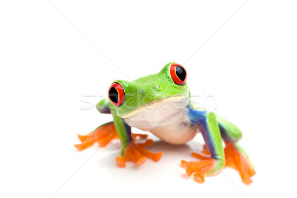 frog closeup on white Stock photo © alptraum