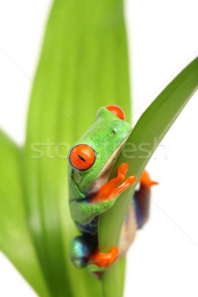 frog on a leaf Stock photo © alptraum
