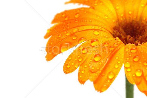 Stock photo: gerber daisy macro with droplets