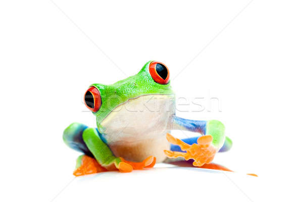 frog curious isolated on white Stock photo © alptraum